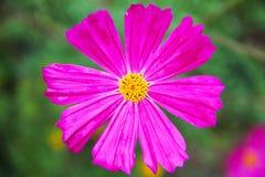 大明亮色Cosmey波斯菊、空间花与八个瓣和一个黄色核心在被弄脏的绿色背景 免版税库存照片
