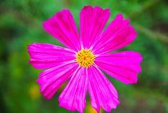 大明亮色Cosmey波斯菊、空间花与八个瓣和一个黄色核心在被弄脏的绿色背景 库存图片