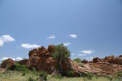 大有叶的岩石无花果,榕属abutilifolia 库存照片