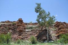 大有叶的岩石无花果,榕属abutilifolia 免版税库存照片