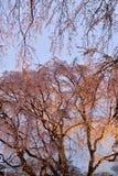 大有启发性樱桃树在东京,日本 免版税库存照片