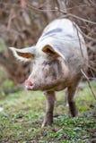 大有机自由放养的猪关闭 免版税库存图片