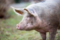 大有机自由放养的猪关闭 免版税图库摄影