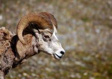 大有角的山岩石绵羊 免版税库存图片
