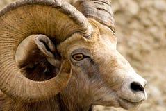 大有角的山绵羊 库存照片