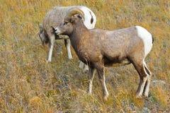 大有角的绵羊 免版税库存照片