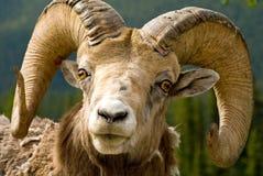 大有角的绵羊 图库摄影