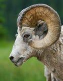 大有角的绵羊 库存图片