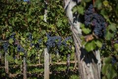 大束在植物的红葡萄酒葡萄 免版税库存图片