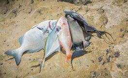大束新近地被抓的不同的海鱼 库存图片