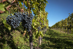 大束红葡萄酒葡萄连续 免版税库存照片
