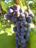 大束蓝色葡萄 库存图片