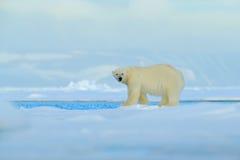 大极性在北极斯瓦尔巴特群岛,大白色动物在自然栖所,有雾的山涉及与雪的流冰边缘水 免版税图库摄影