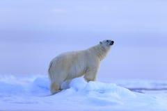 大极性在背景,斯瓦尔巴特群岛,挪威中涉及与雪,被弄脏的天空的流冰 库存照片