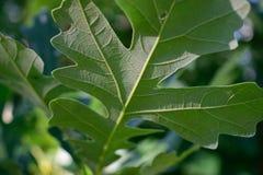 大果栎(栎属macrocarpa)叶子底部细节  图库摄影