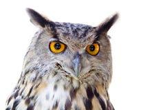 大查出的猫头鹰 免版税库存照片