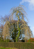 大柳树在显示这个优秀标本的摇摆分支冬天阳光下 库存图片
