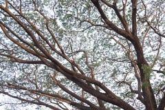 大树分支反对白色天空的在背景中 图库摄影