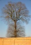大树和墙壁 库存图片