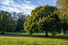 大树在公园 库存照片