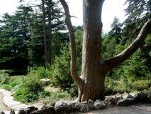 大树在森林和公园里 库存照片
