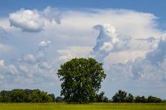 大树在草的绿色领域与更小的树的在距离在剧烈的美丽的蓝色多云天空下 免版税图库摄影