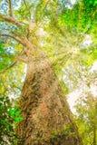 大树在Tsitsikamma 图库摄影