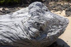 大树干从海洗涤了和各式各样, Amoronia橙色海湾,印度洋,在马达加斯加北部 免版税库存照片