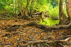 大树根在森林里 免版税图库摄影