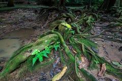 大树根在雨林的与青苔 库存照片