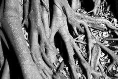 大树的根与干燥叶子的在黑&白色 免版税图库摄影