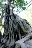 大树的根 免版税图库摄影