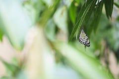 大树若虫蝴蝶,想法leuconoe,垂悬在雨林 免版税库存图片