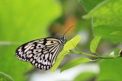 大树若虫蝴蝶和绿色叶子 免版税库存照片