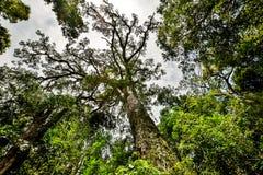 `大树`的低角度视图在Tsitsikamma森林国家公园,东开普省省,南非 图库摄影