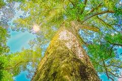 大树Tsitsikamma 图库摄影