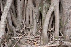 大根和树干 库存图片