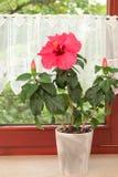 大桃红色木槿在窗口的罐开花 库存图片