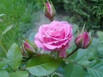 大桃红色玫瑰在夏天庭院里 库存照片