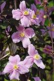 大桃红色花在庭院里 库存图片