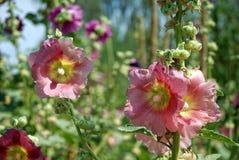 大桃红色花在庭院里 免版税库存照片