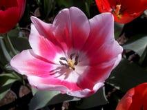 大桃红色花软的春天神秘主义者 免版税库存照片