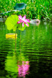 大桃红色莲花在水在Corroboree沼泽地, NT,澳大利亚中反射了 库存图片