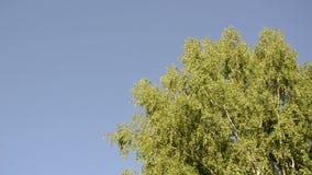 大桦树摇动 影视素材