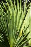 大棕榈叶 免版税图库摄影