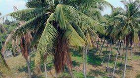 大棕榈在摄影自然中增长在热的天 影视素材