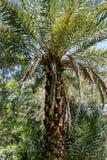 大棕榈树在拉斯维加斯 免版税库存照片