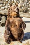 大棕熊。 免版税库存照片