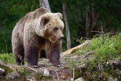 大棕熊在森林里 库存照片