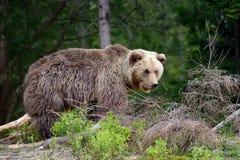 大棕熊在森林里 免版税图库摄影
